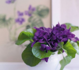 mononucleosi viola odorata